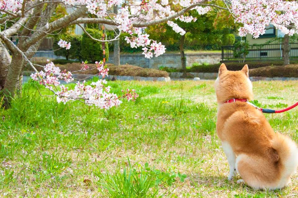 花見をする柴犬