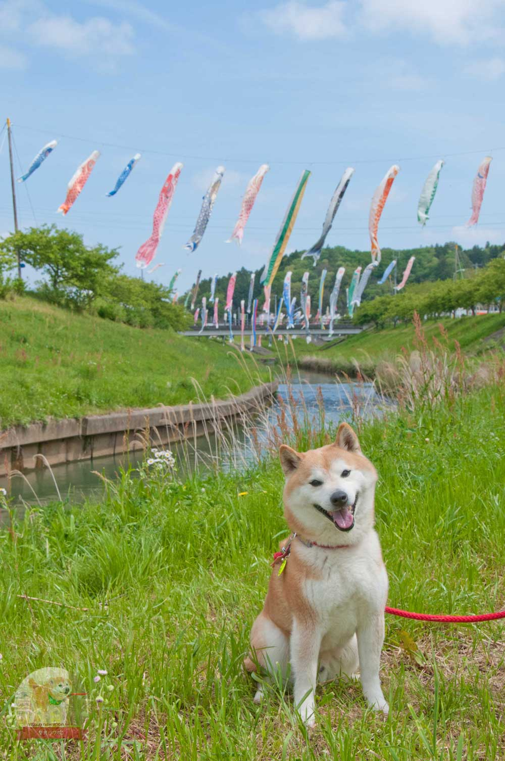 村田川鯉のぼり柴犬