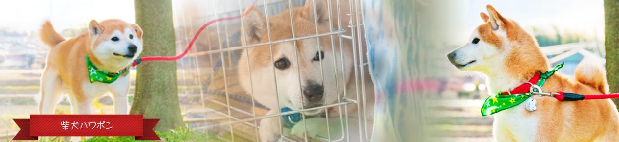 柴犬ハワポン-ちーば犬の千葉写真しばいぬ物語